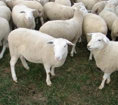 Thịt cừu nhập khẩu