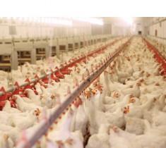 Thịt gà nhập khẩu